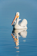 White Pelican in water with Reflection
