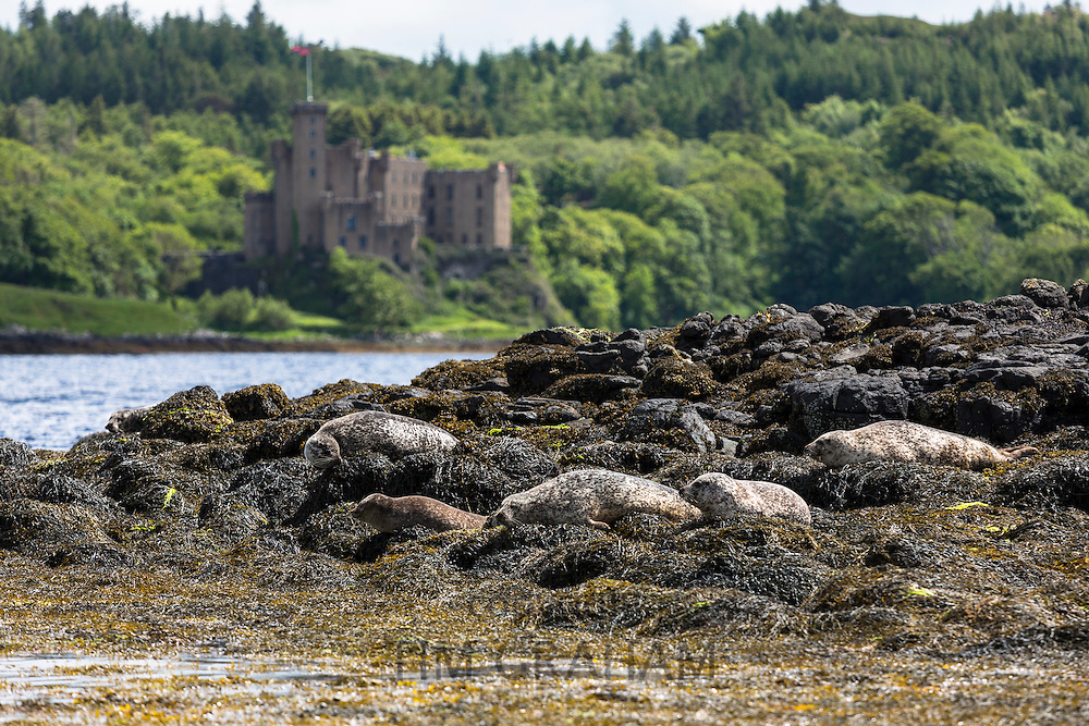Common Seal or Harbour Seal, Phoca vitulina, colony of adults and seal pup juvenile basking on rocks and seaweed by Dunvegan Castle and Loch, Isle of Skye, Scotland