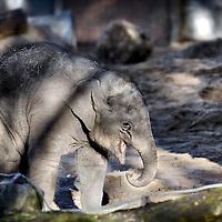 Nederland, Amsterdam , 13 december 2011..Het olifantje Mumba geboren in Artis is nu een half jaar oud..Foto:Jean-Pierre Jans