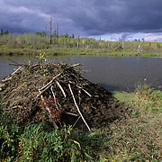 Beaver, (Castor canadensis) Beaver hut in Southern Manitoba. Canada.