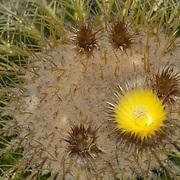 Desert Cactus.