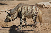 Striped Hyena (Hyaena hyaena) Photographed in the Arava desert, israel in November