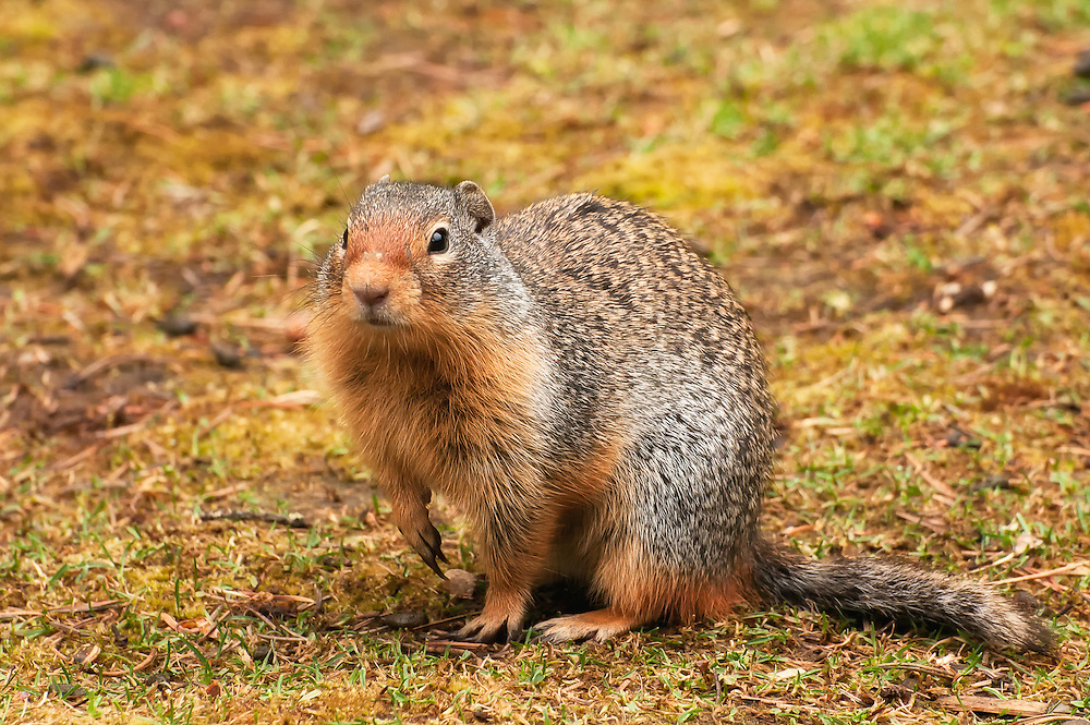A devious ground squirrel in Saltese, Montana poses for me as its sneaky mates search my camera bag for food. These clever and collaborative tricksters live in large colonies and will work together to provide food for all members of their group.