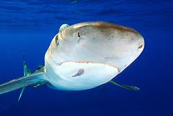 oceanic whitetip shark with remora Carcharhinus longimanus, note ampullae of Lorenzini, Big Island, Hawaii, Pacific Ocean