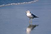 Gull, Ring-Billed / Larus delawarensis