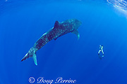 Mami LeMaster free-diving with whale shark, Rhincodon typus, Kona Coast, Hawaii Island ( the Big Island ), Hawaiian Islands ( Central Pacific Ocean )