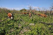 Israel, Mount Carmel, free grazing cattle