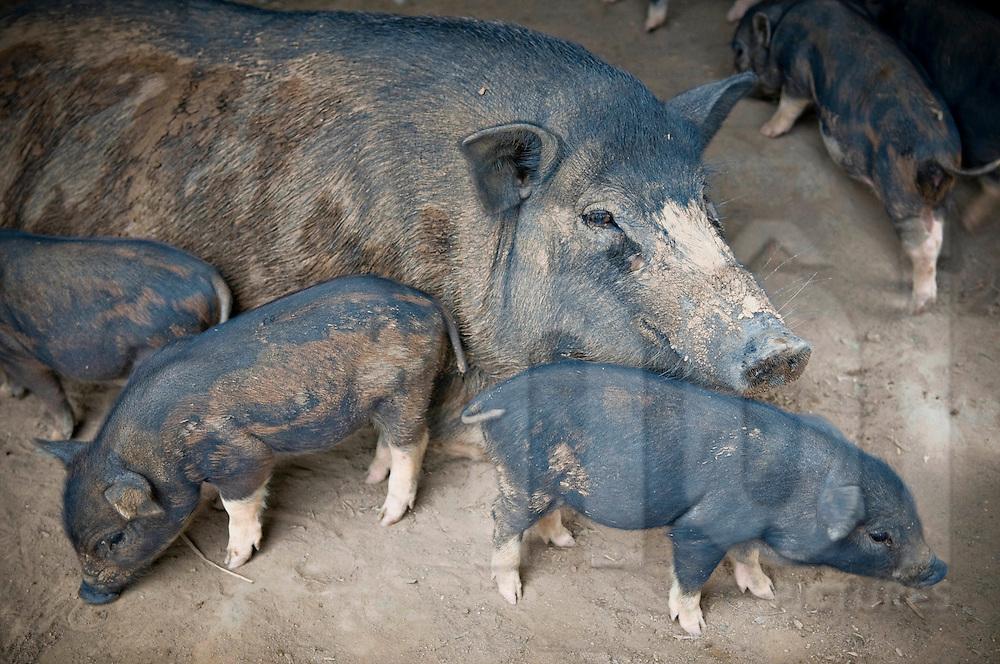 Free range black pigs, Pleiku area, Vietnam, Southeast Asia