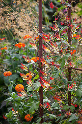 Ipomoea lobata syn. Mina lobata (Spanish flag) with Zinnia Sprite Mix, Stipa gigantea and Tithonia rotundifolia 'Torch' (Mexican sunflower)