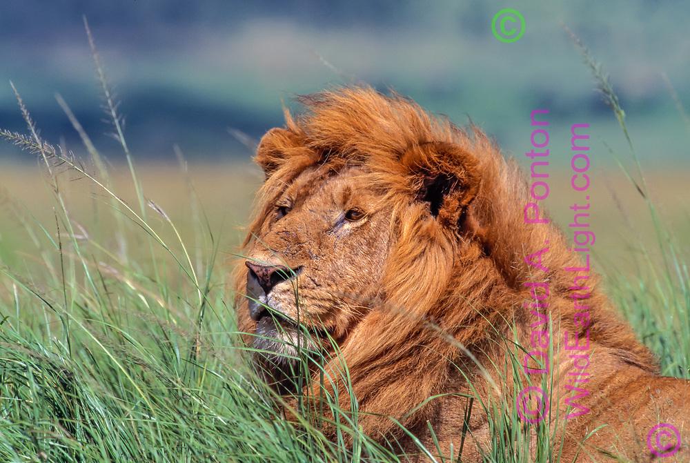Male African lion lying in tall grass, portrait, Maasai Mara National Reserve, Kenya, © David A. Ponton