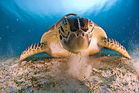 Diving with sea turtles and dugongs in tahe Calamian Islands, Palwan, Philippines