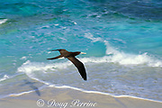 brown booby, Sula leucogaster, <br /> Sand Cay, Flinders Reef, Australia<br /> ( Coral Sea )
