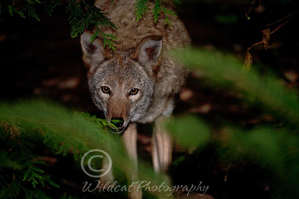 Coyote peeking through the bushes