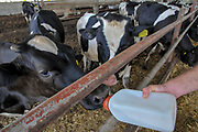 Dairy Farmer feeds a new born drop calf with milk and water from a plastic bottle. Photographed in Kibbutz Harduf, Israel