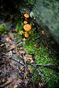 Orangehygrocybe Cantharellus