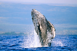 humpback whale calf breaching with eyes open, Megaptera novaeangliae, Hawaii, Pacific Ocean