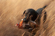 Danny the Black Labrador, a retriever hunting dog runs back through the prairie grasses after retrieving a pheasant shot by his owner Byron Grubb near Minot, North Dakota, United States. These trained working dogs watch the bird as it comes down and run to collect and bring them back. This breed of dogs has a soft mouth which means they can pick up the birds and return them without damaging them. Hunters work the land to find pheasant and grouse with their faithful gun dogs. These men have been shooting for most of their lives and put considerable efforts into their hunting, efforts which reward them with wild game meats, none of which is wasted.