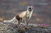 Arctic Fox, Somerset Island, Nunavut, Canada