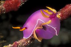 This colorful nudibranch, Hypselodoris bullockii, deposits an egg ribbon on the branch of a dead gorgonian. Similan Islands Marine National Park, Thailand, Andaman Sea; Indian Ocean. filename: nb134