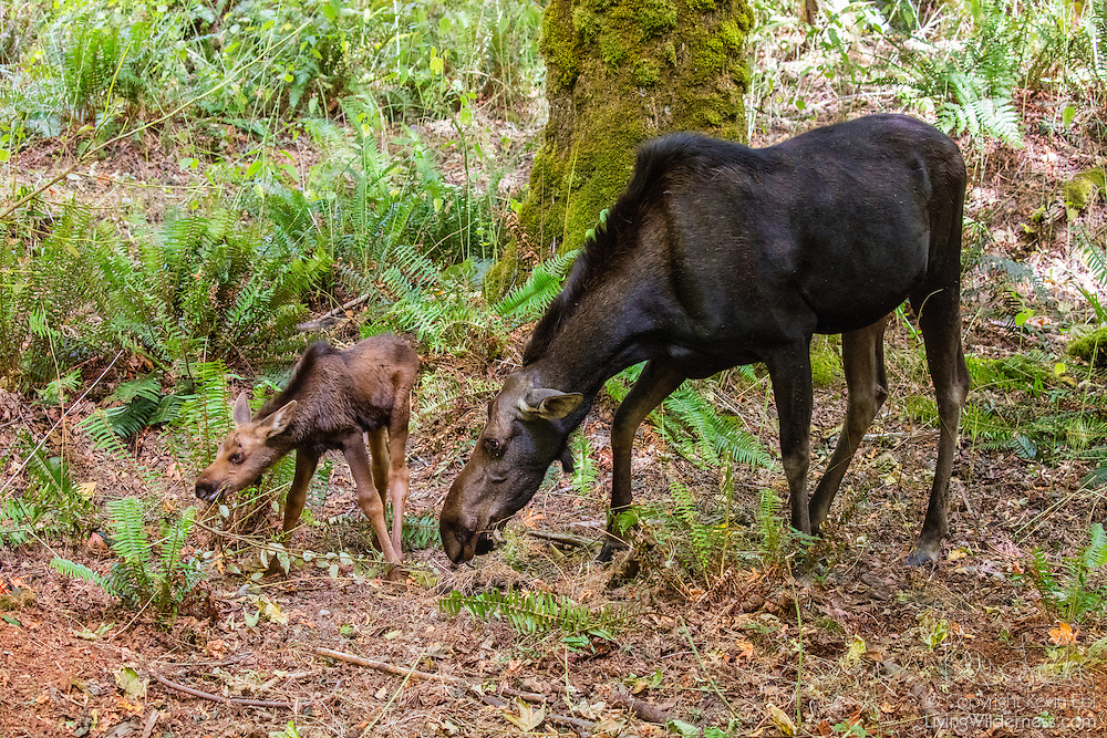 A young female moose (Alces alces), approximately one month old, feeds with her mother in a forested area in the Cascades of Washington state. Moose are part of the deer family; they are known as moose in North America and as elk in Europe and Asia.