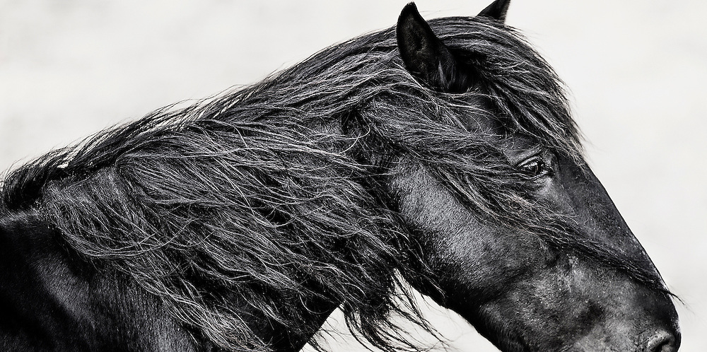 """THE ALGONQUIN TRIBE'S NAME FOR 'MY HEART' IS NUTTAH. <br /> <br /> THIS IMAGE IS DEAR TO ME.  THE RAW ORGANIC EMOTION IN THIS HORSE SPEAKS TO MY HEART AND SOUL. <br /> THE ENTIRE HORSE WAS IN MY FRAME IN THE ORIGINAL IMAGE HOWEVER I CHOOSE TO CROP THIS WILD MUSTANG THIS WAY SO THAT THE FOCUS, ATTENTION AND EMOTION WOULD BE SET ON HIS EXPRESSIVE AND EMOTIONAL EYE AND BLOWING MANE. WE ALL HEAR THE EXPRESSION """"THE EYE IS THE WINDOW TO THE SOUL"""" – AND THIS IS CERTAINLY IS SEEN HERE. WHAT LOOKS LIKE SAND GRANULES ALL OVER HIS MANE IS ACTUALLY SPLIT HAIRS WHICH REMINDS US TO PAUSE AND REFLECT THAT THESE AMAZINGLY STRONG ANIMALS ARE WILD AND DESERVE EVERY RIGHT AND FREEDOM THAT WAS ONCE THEIRS – BUT IS QUICKLY BEING STRIPPED AWAY.<br /> <br /> THIS IMAGE IS SO DEEPLY COMPELLING TO ME THAT I DECIDED TO OFFER IT IN BOTH COLOR AND BLACK AND WHITE."""