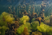 Aquatic Vegetation<br /> Permanant Freshwater Pond<br /> Savannah<br /> Rupununi<br /> GUYANA<br /> South America