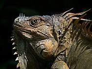 Green Iguana enjoying a moment's sun in the rainforest. Selva Verde Lodge & Rainforest Reserve, Costa Rica.