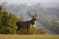 Windsor, UK. 17th September, 2020. A red deer stag is pictured in front of Windsor Castle at sunrise. The deer park enclosure in Windsor Great Park is home to a herd of around 500 red deer descended from forty hinds and two stags introduced by the Duke of Edinburgh in 1979.