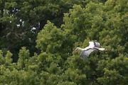 White stork (Ciconia ciconia) in flight. West Sussex, UK.