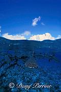 gray reef sharks, Carcharhinus amblyrhynchos, Bikini Atoll, Marshall Islands, Micronesia ( Central Pacific Ocean ) (de)