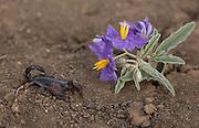 Israeli Black Scorpion (Scorpio maurus) Israel Summer August