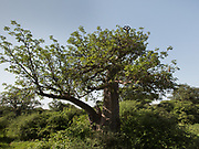 Mokoa climbing a Baobab tree to collect baobab fruits, an essential part of the Hadza diet. The Hadza camp of Senkele.