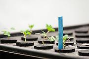 Clones of medicinal marijuana plants in their beds.