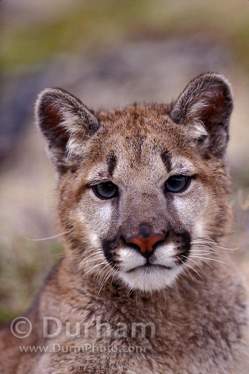 Juvenile female cougar (Felis Concolor) portrait. Range: North America - Canada south to South America. Captive, Montana.
