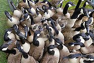 Canada geese roundup and banding in Middletown, N.Y.
