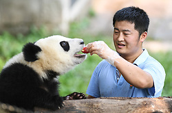 August  3, 2017 - Chongqing, china - YIN YANQIANG feeds a giant panda with apple at Chongqing Zoo. Yanqiang, technical director of giant panda house of Chongqing Zoo, is called Dad of Pandas.' He has been working here for 4 years since he graduated from the Institute of Zoology of Chinese Academy of Science. (Credit Image: © Wang Quanchao/Xinhua via ZUMA Wire)