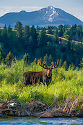 Bull Moose behind a small stream in Grand Teton National Park with Mt. Jackson in the distance.