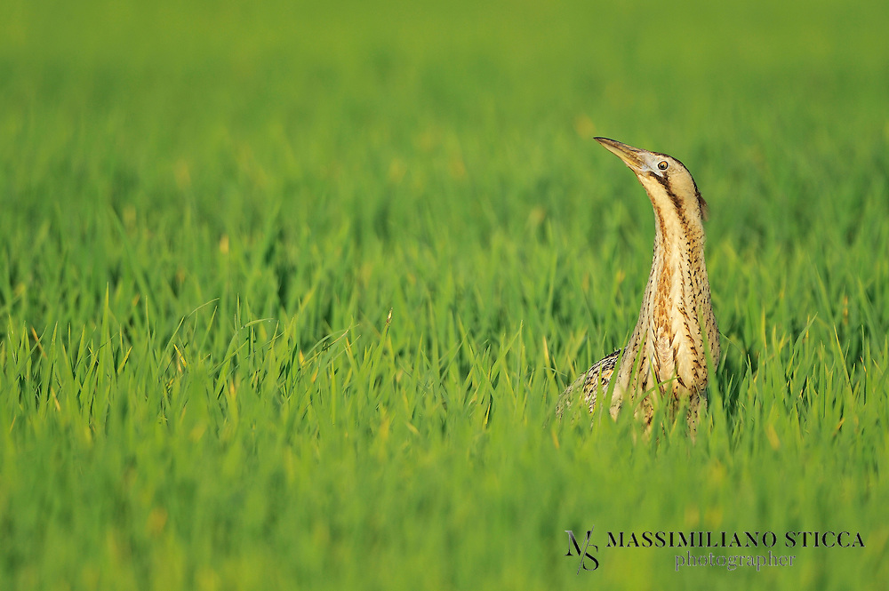 The Eurasian Bittern or Great Bittern (Botaurus stellaris) is a wading bird of the heron family Ardeidae. It is one of the species to which the Agreement on the Conservation of African-Eurasian Migratory Waterbirds (AEWA) applies.Bitterns are thickset herons with bright, pale, buffy-brown plumage covered with dark streaks and bars, similar in appearance to the to the American Bittern, Botaurus lentiginosa. The Eurasian or Great Bittern is 69-81 cm (27-32 in) in length, with a 100-130 cm (39-51 in) wingspan and a body mass of 0.87-1.94 kg (1.9-4.3 lb).[2] Their most distinctive feature is the males booming call in spring.