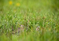 Great Snipe, Gallinago media, Matsalu Bay Nature Reserve, Estonia