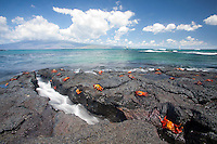 Sally Lightfoot Crabs (Grapsus grapsus) in the Galapagos Islands, Ecuador.