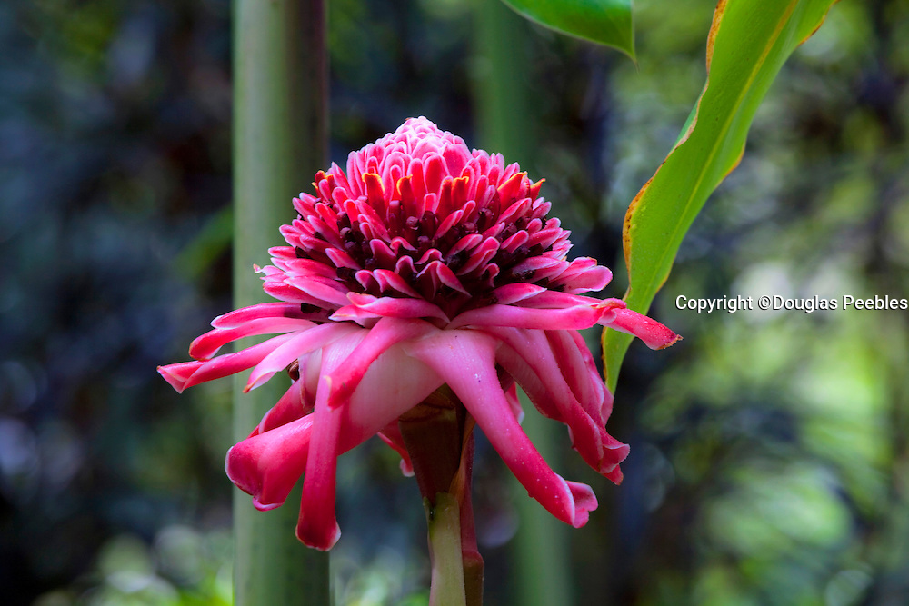 Torch Ginger, Tropical Gardens of Maui, Iao Valley, Maui, Hawaii