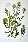 Common Bittercress or Yellow Rocket (Barbarea vulgaris), biennial wild herb of Brassica family native of Europe.  From Amedee Masclef 'Atlas des Plantes de France', Paris, 1893.