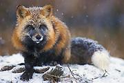 Red Fox ( Vulpes fulva ) Minnesota ,USA  cross phase fox in snow