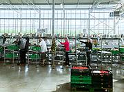 Italia, Toscana, Gavorrano, SFERA , l'azienda agricola a coltivazione idroponica più grande del sud Europa. Sfera is the largest hydroponic farm in southern Europe, focused on cooultivation of tomatoes and several kind of salads , including basil