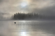 Color image of a loon displaying on a foggy misty morning.
