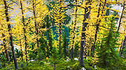 Fall larch trees at Lake Agness, Banff National Park, Alberta, Canada