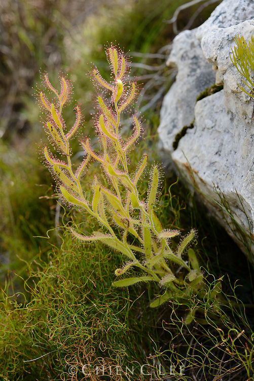 Drosera cistiflora, a summer dormant carnivorous sundew. Western Cape, South Africa.