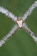 Silver Argiope Spider, Argiope argentata, Panama, Central America, Barro Colorado Island, on orb web showing bands of silk in zig zag cross  pattern, white patterns are called stabilimentum and reflect UV light. They have been shown to play a role in attracting prey to the web, and possibly to prevent its destruction by large animals