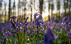 Bluebells are lit by the rising sun in Micheldever Wood in Hampshire, as the blast of Arctic weather that has brought snow to northern Scotland continues to move south.