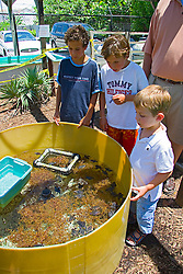 Children observing Green Sea Turtle and loggerhead turtle hatchlings, Chelonia mydas and Caretta caretta, Marinelife Center, Juno Beach, Florida, Atlantic Ocean (c)